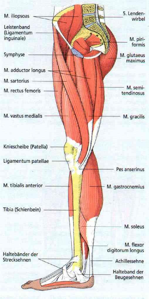 Groß Diagramm Der Beinmuskeln Bilder - Menschliche Anatomie Bilder ...