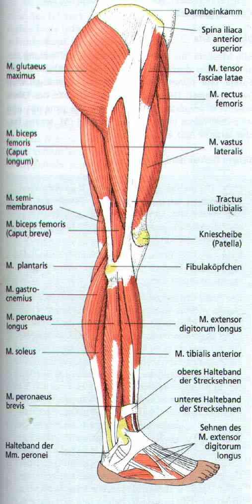 Großartig Beinmuskel Diagramm Fotos - Menschliche Anatomie Bilder ...